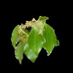 bois de Hô feuilles